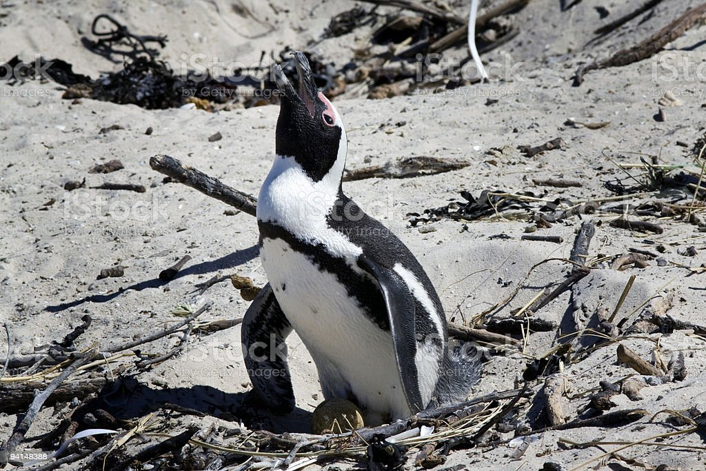 Breeding African Penguin at Boulders Beach, Cape Town, South Africa royalty-free stock photo