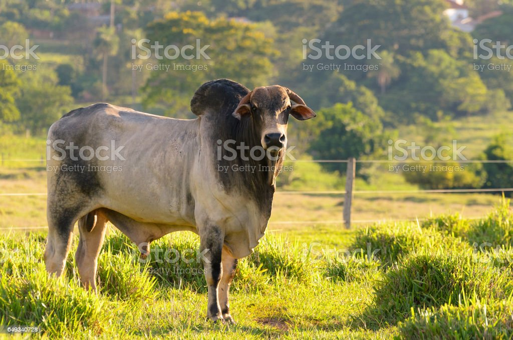 Breeding bull in farm pasture stock photo