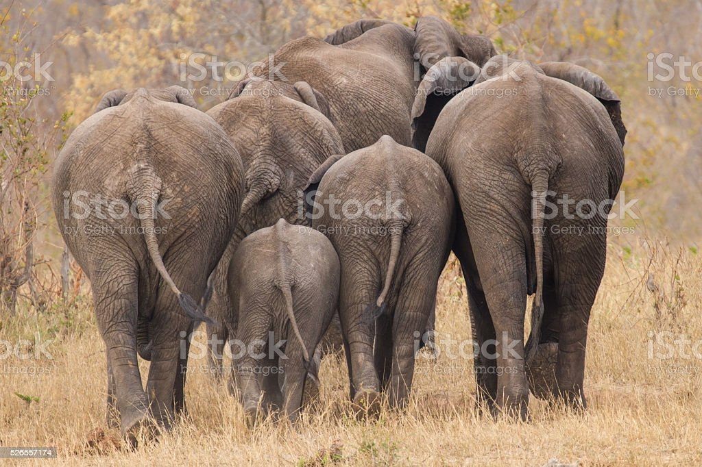 Breeding herd of elephant walking away int the trees stock photo