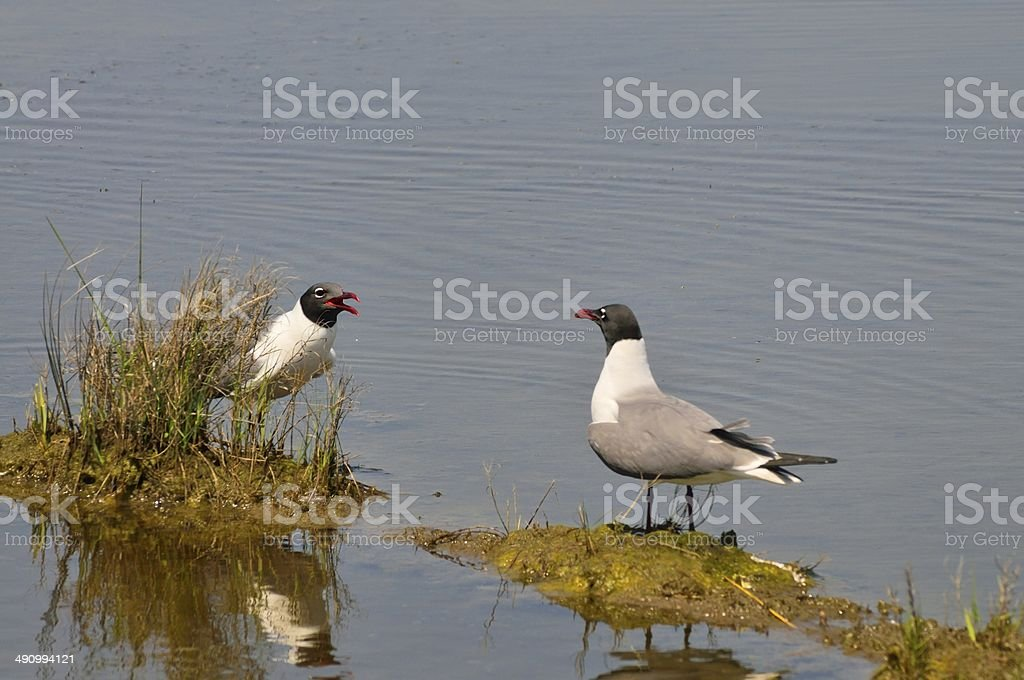 Breeding Laughing Gull Discussion stock photo