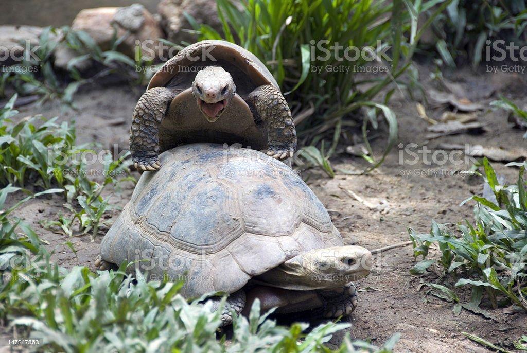 Breeding of tortoise royalty-free stock photo