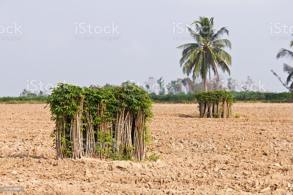 Breeding sapling of cassava royalty-free stock photo