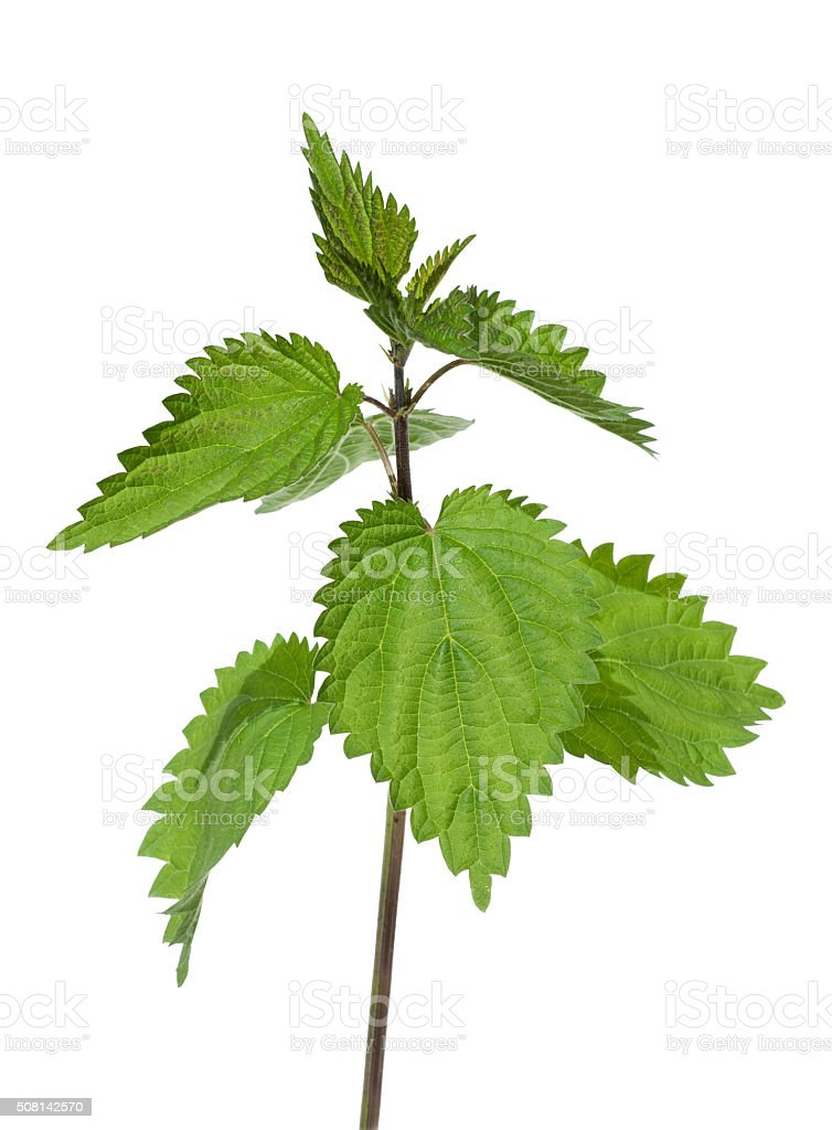 Brennnessel; Nettle; Urtica dioica; Big nettle stock photo