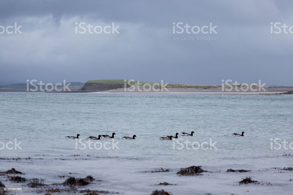 Brent Geese in water at beach stock photo