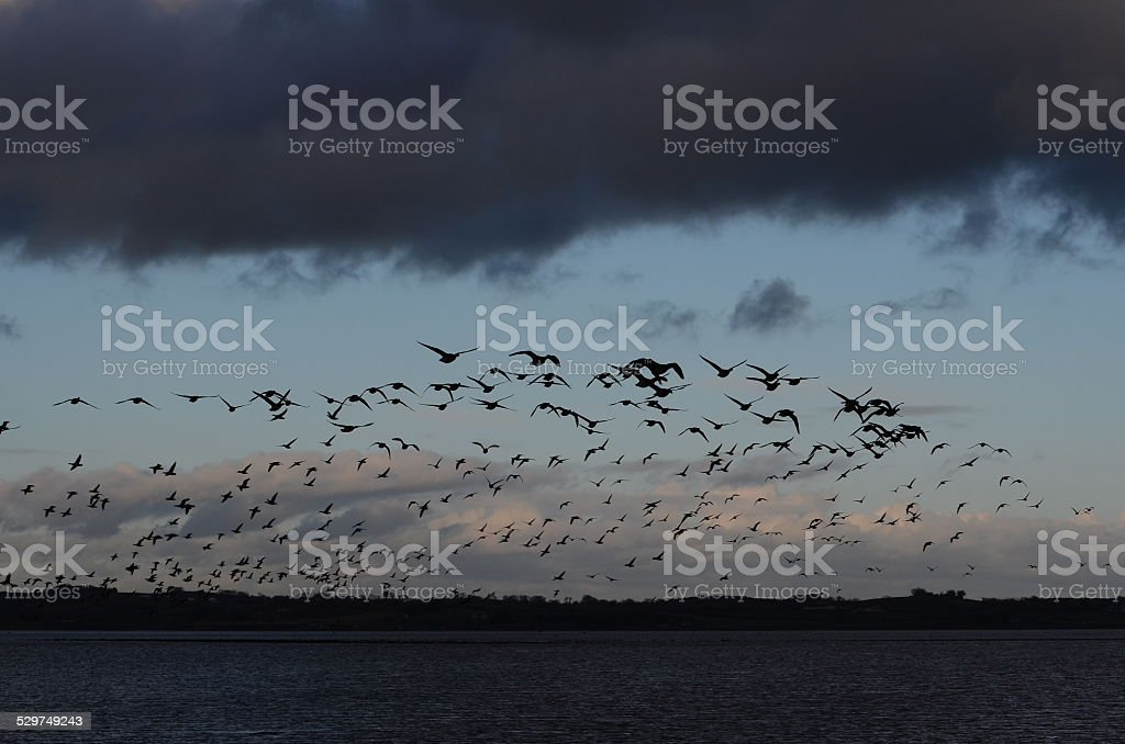 Brent Geese stock photo