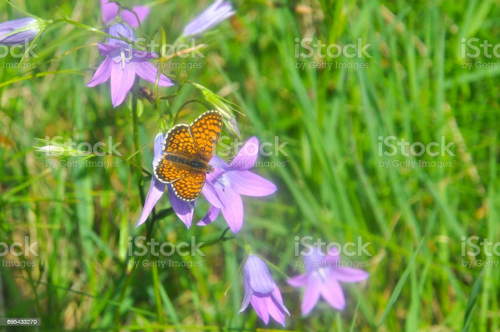 Brenthis daphne, Marbled Fritillary butterfly collecting nectar on wild flowers. stock photo