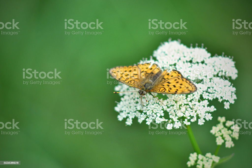 Brenthis ino butterfly stock photo