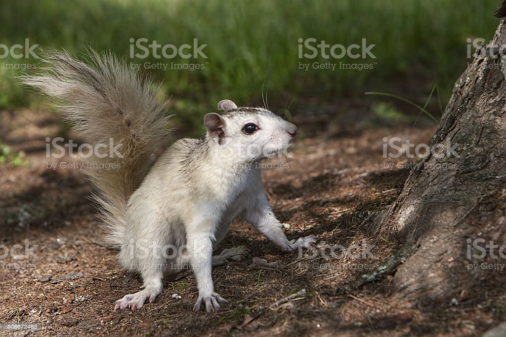 Brevard White Squirrel stock photo