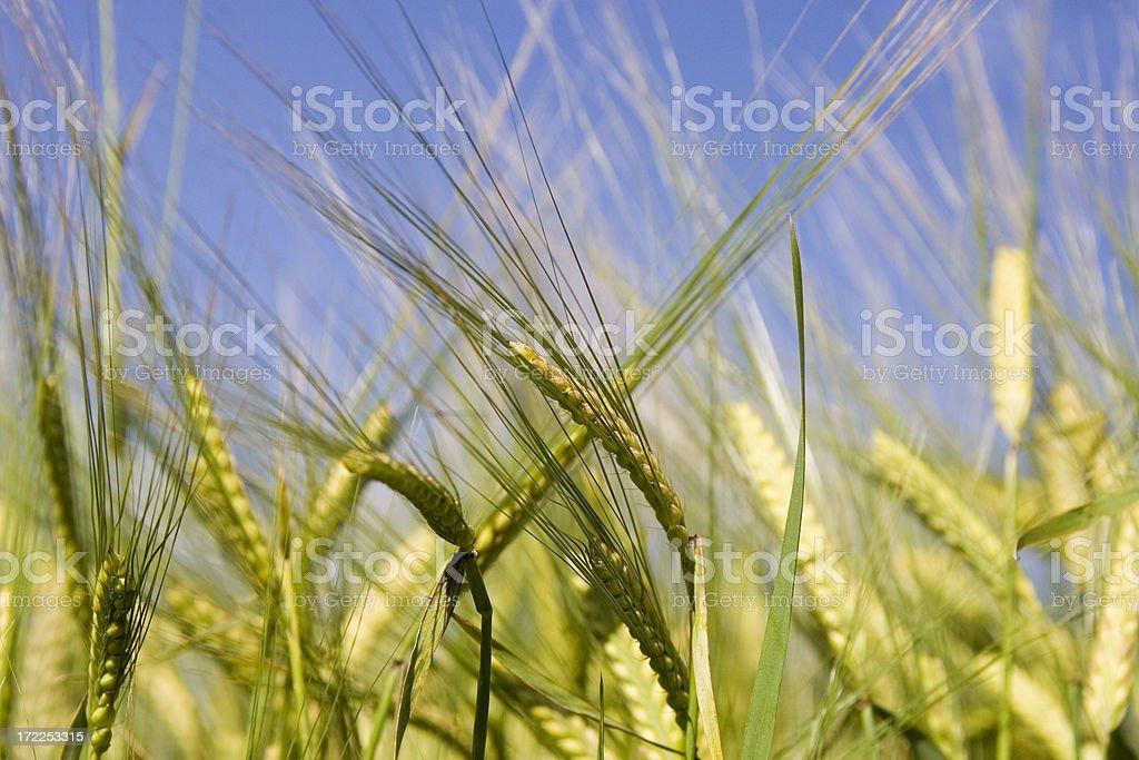 brew barley 2 royalty-free stock photo