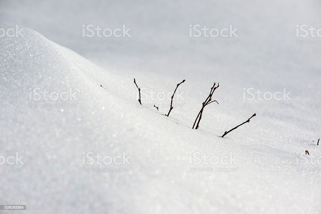 Briar stems emerging from snowbank stock photo