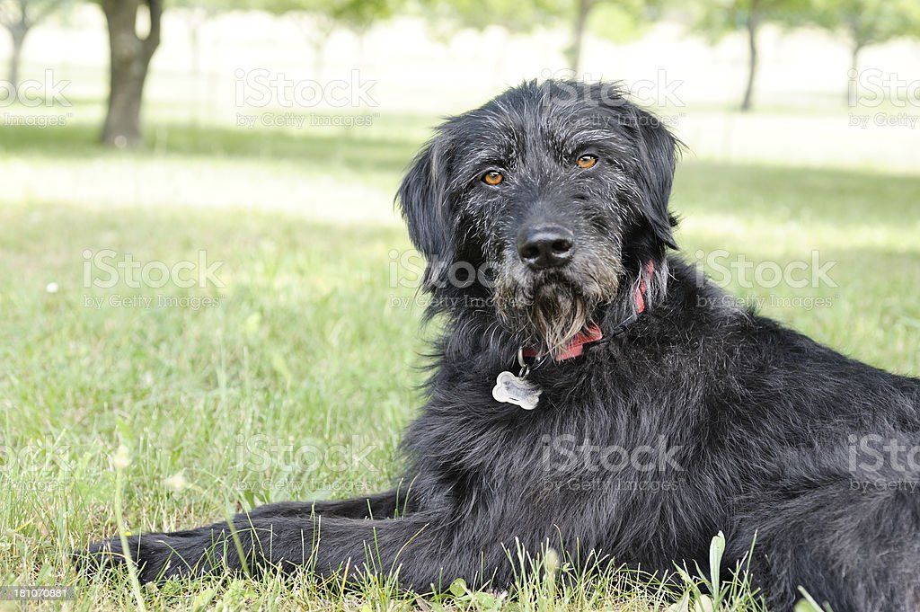 Briard-cross dog quizzical look stock photo