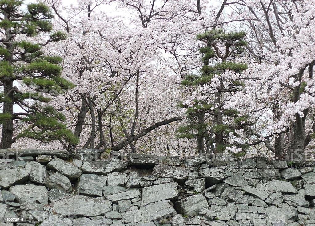 Brick Wall and Cherry Blossom Trees of Park, Japan stock photo