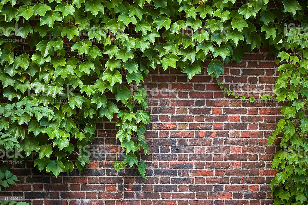 brick wall covered in ivy stock photo