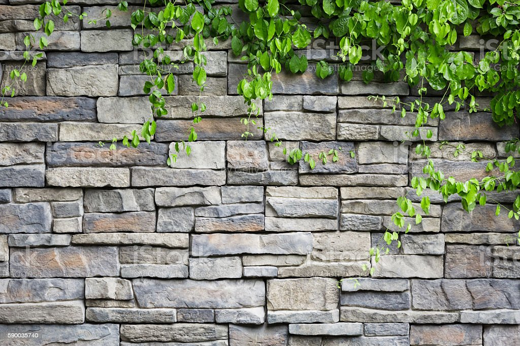 brick wall with green creeper plants stock photo