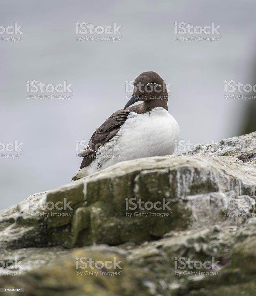 Bridal Guillemot - ruffled feathers (Farne Islands, UK) royalty-free stock photo