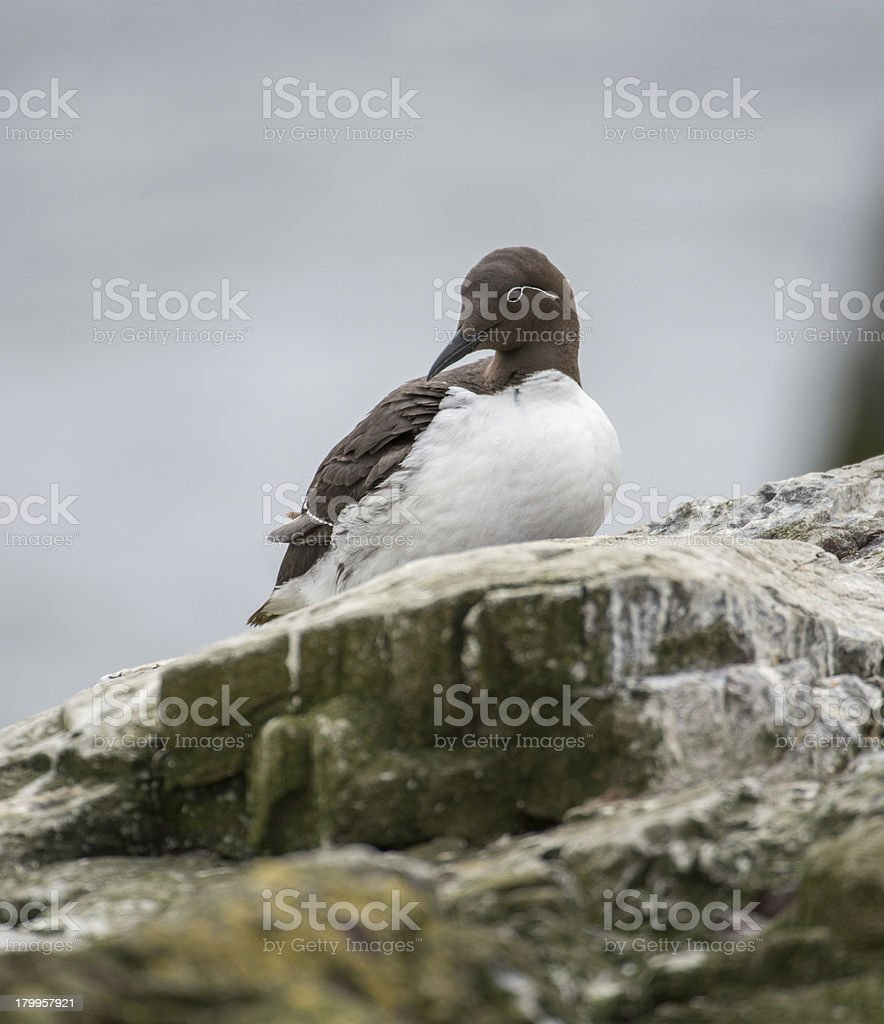 Bridal Guillemot - ruffled feathers (Farne Islands, UK) stock photo