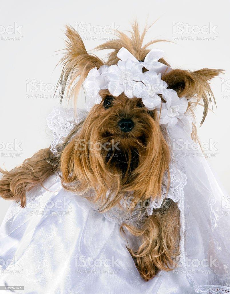 bride yorkie stock photo