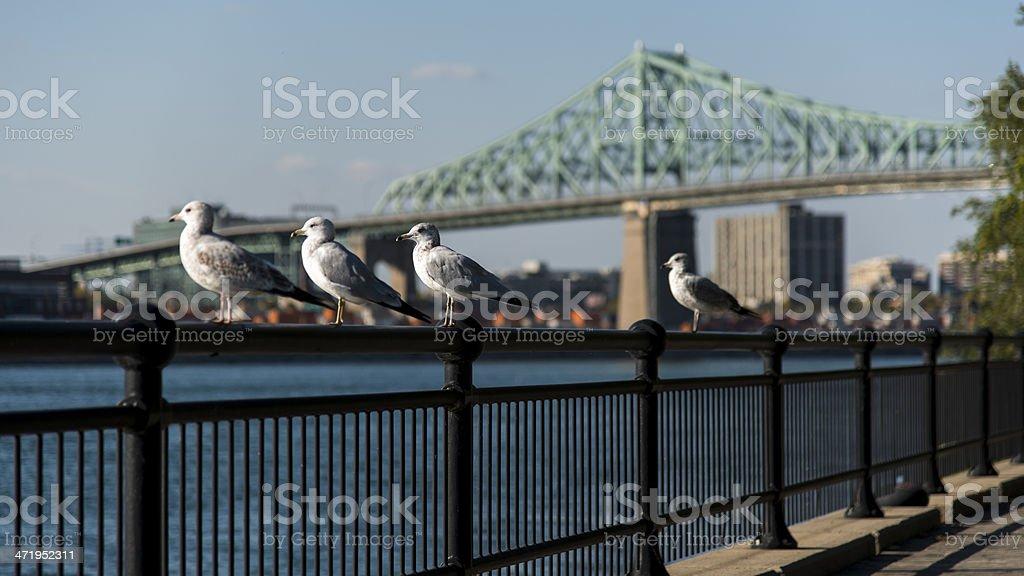 Bridge, Montreal, Quebec, Canada, Curious Seagull stock photo