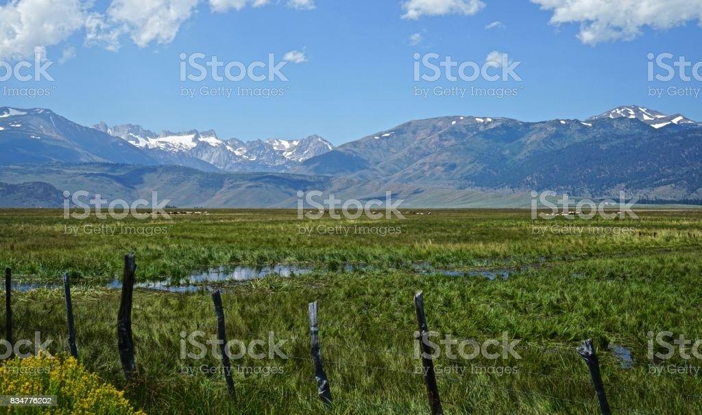 Bridgeport Valley Cattle stock photo