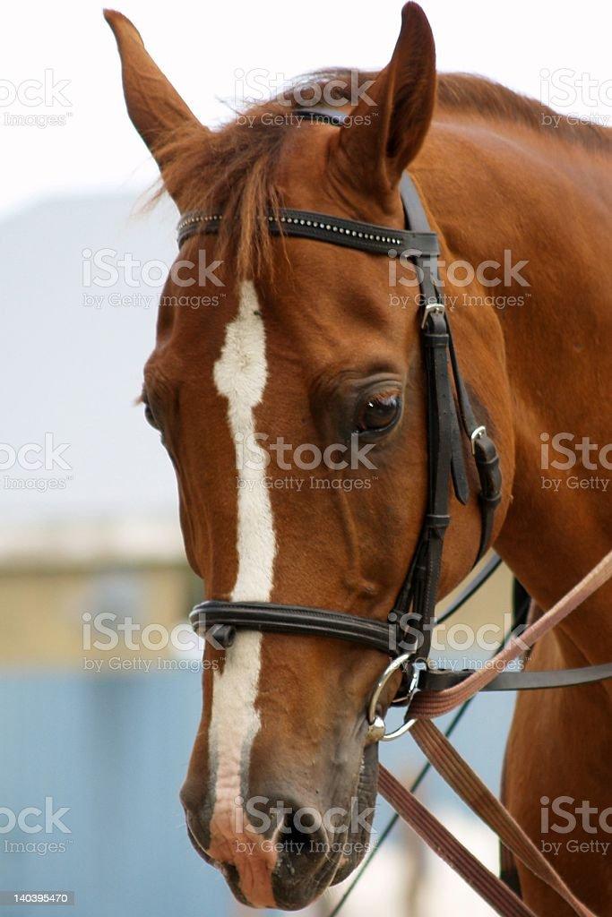 Bridled horse stock photo