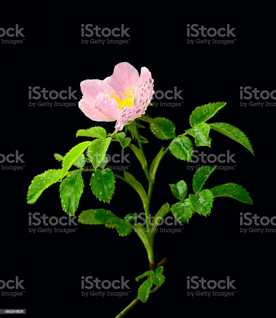 Brier rose royalty-free stock photo