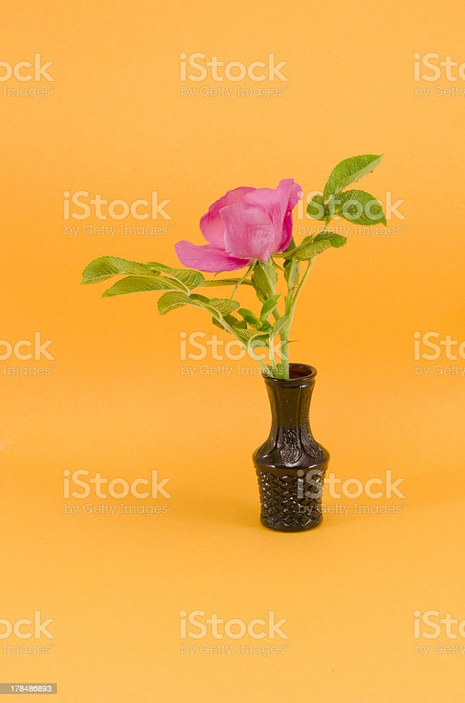 brier wild rose flower in small vase royalty-free stock photo
