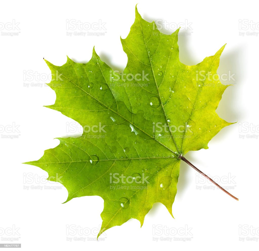A bright and beautiful green maple leaf with dew royalty-free stock photo
