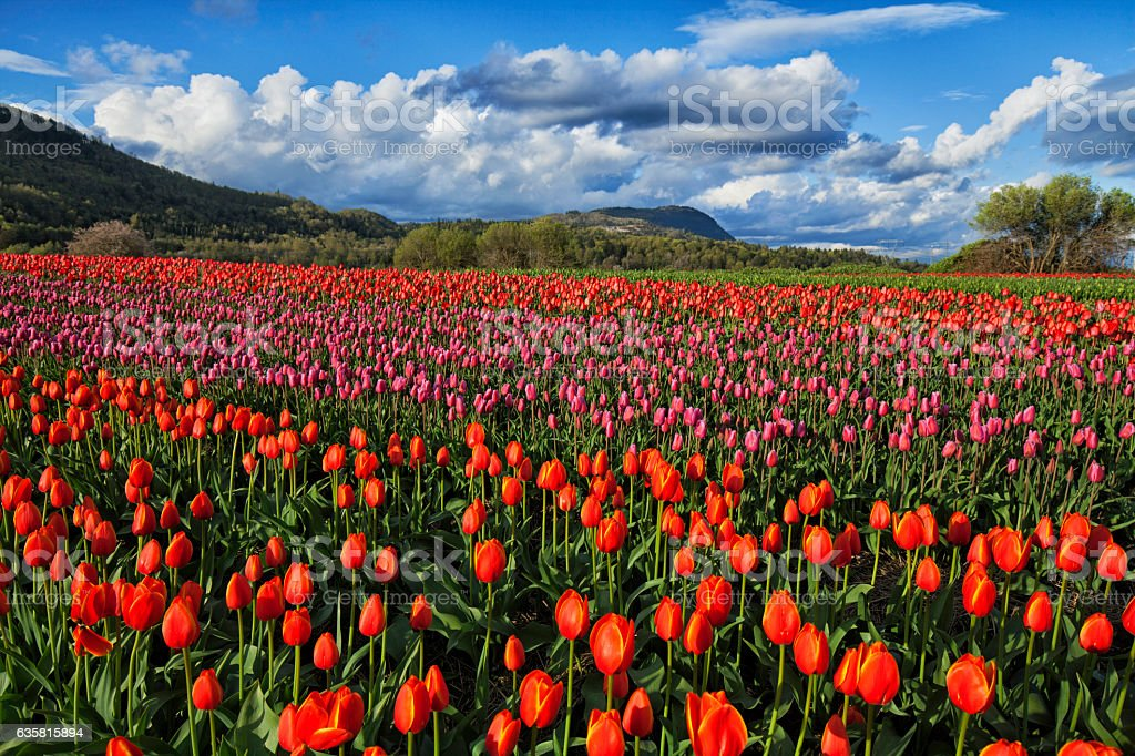 Bright and beautiful tulip fields in Valley stock photo