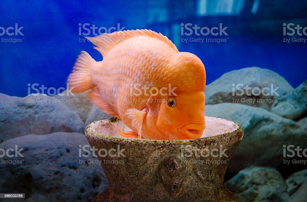 Bright aquarium fish citron stock photo