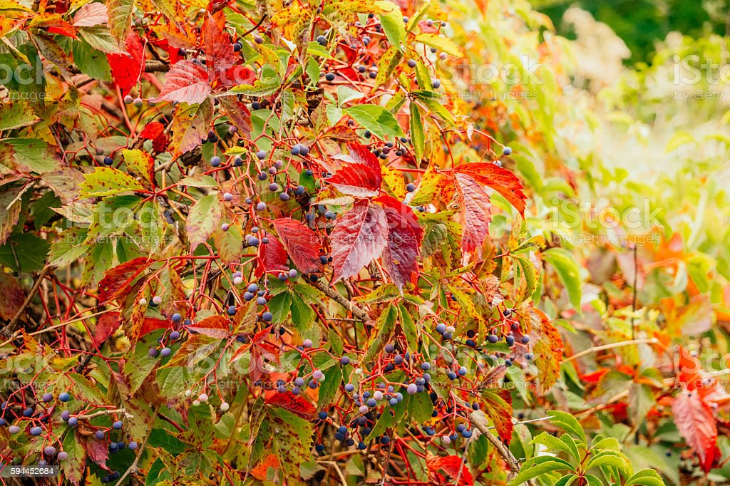 Bright autumn garden. Thickets of wild grapes stock photo