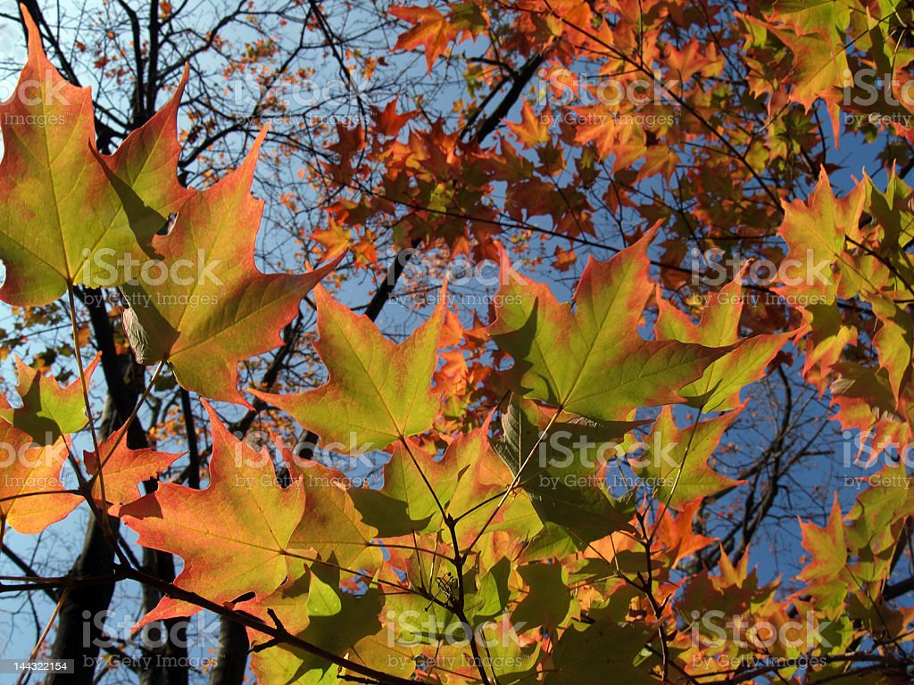 Bright Autumn Sugar Maple Leaves in Pennsylvania, Back-lit Wide View royalty-free stock photo