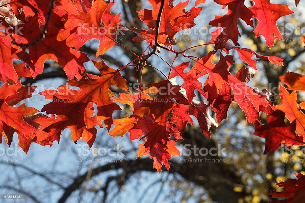 Bright red leaves red oak Quercus rubra in autumn stock photo