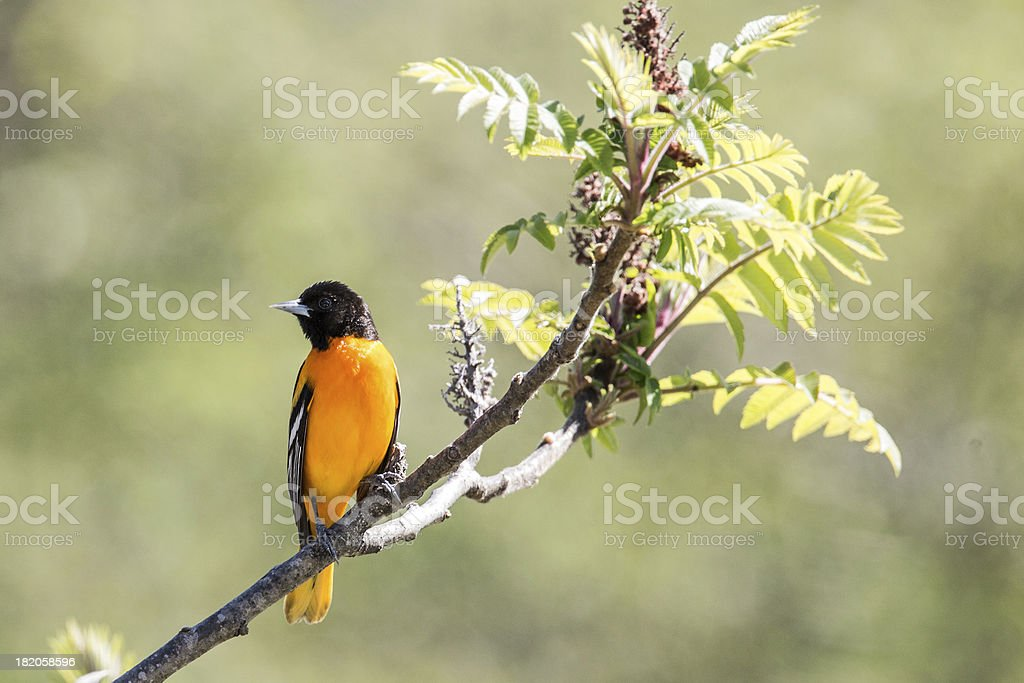 Bright Baltimore Oriole on a branch royalty-free stock photo