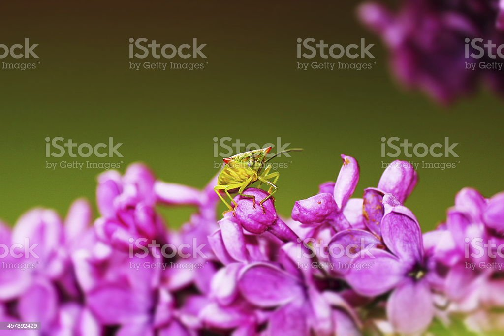 Bright Beastly hawthorn shield bug stock photo