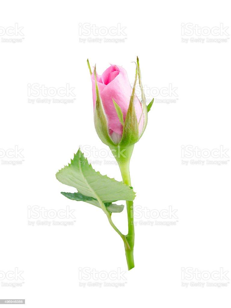 bright beautiful  pink rose stock photo