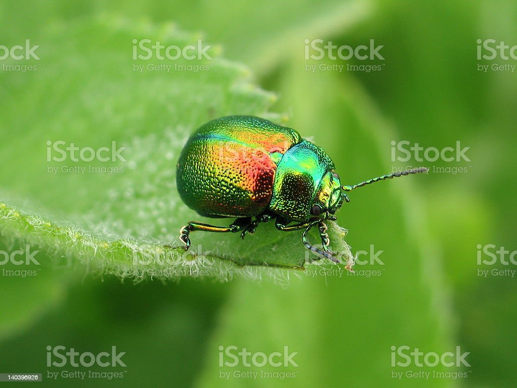 Bright beetle royalty-free stock photo