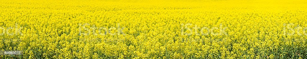 Bright biofuel crop panorama stock photo