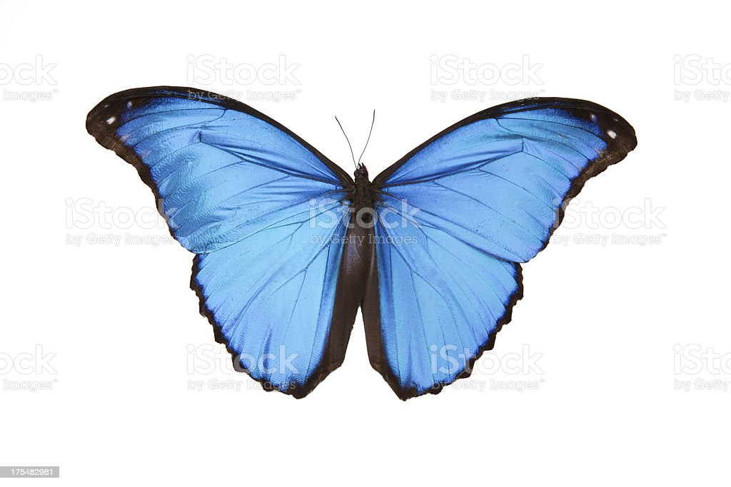 Bright blue butterfly against a white backdrop stock photo