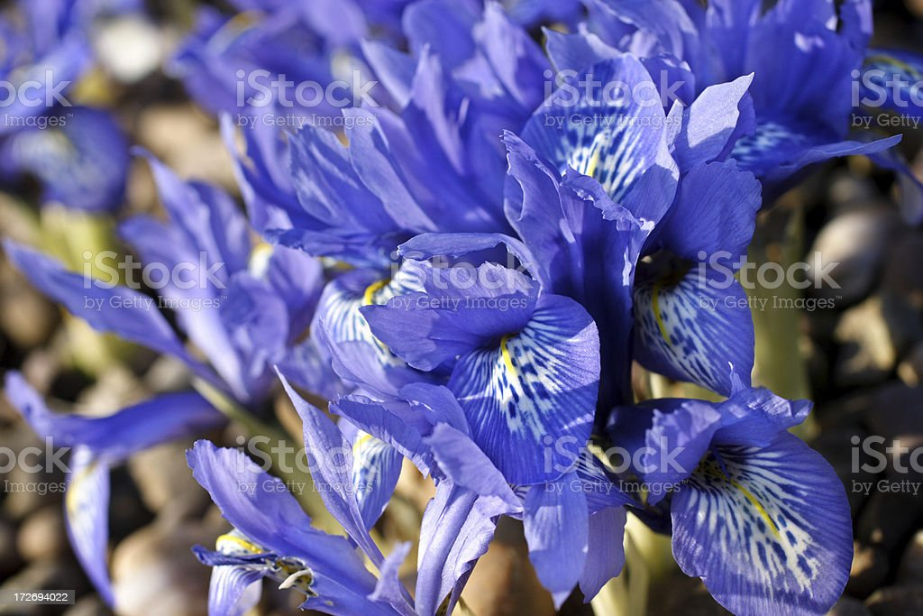 Bright blue flowers of Iris reticulata stock photo