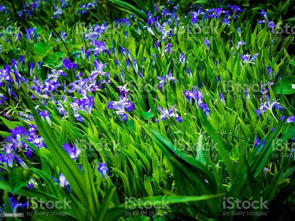 Bright Blue Irises among Bright Green Leaves stock photo