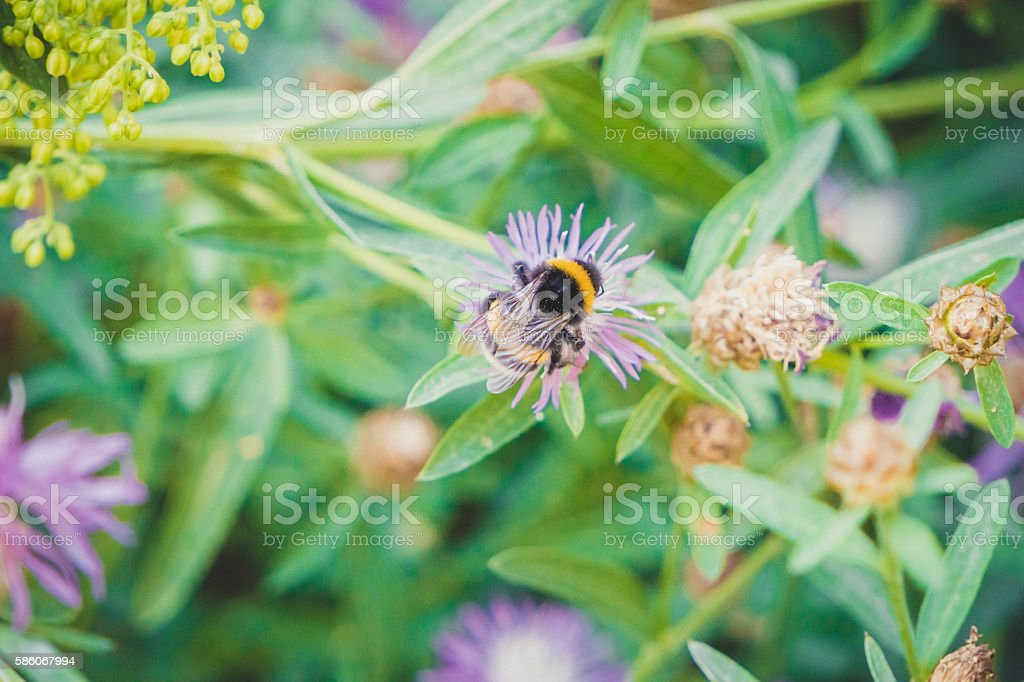 Bright bumblebee and flowers of cornflower stock photo