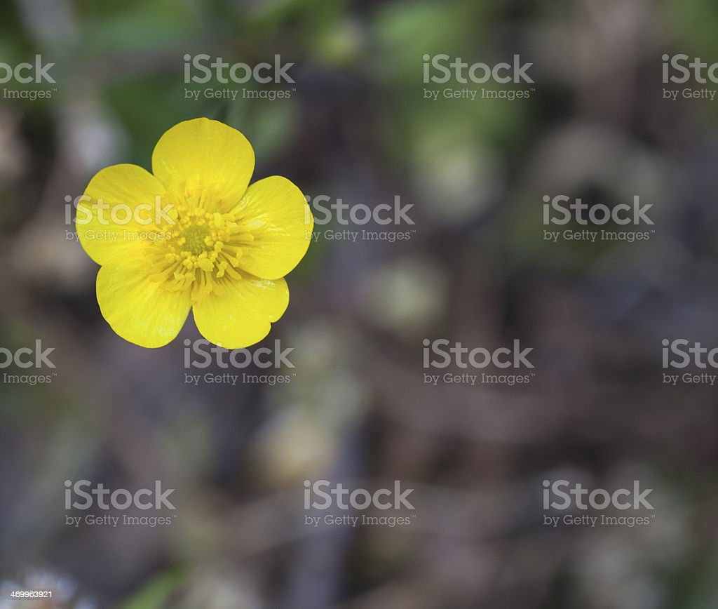 Bright buttercup on defocused background royalty-free stock photo