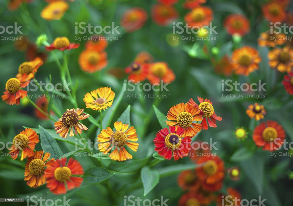 Bright camomiles royalty-free stock photo