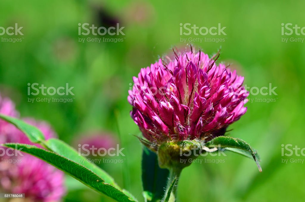 Bright clover flower among green leaves in the meadow stock photo