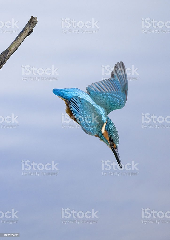Bright Colored Kingfisher Diving Down off Branch stock photo