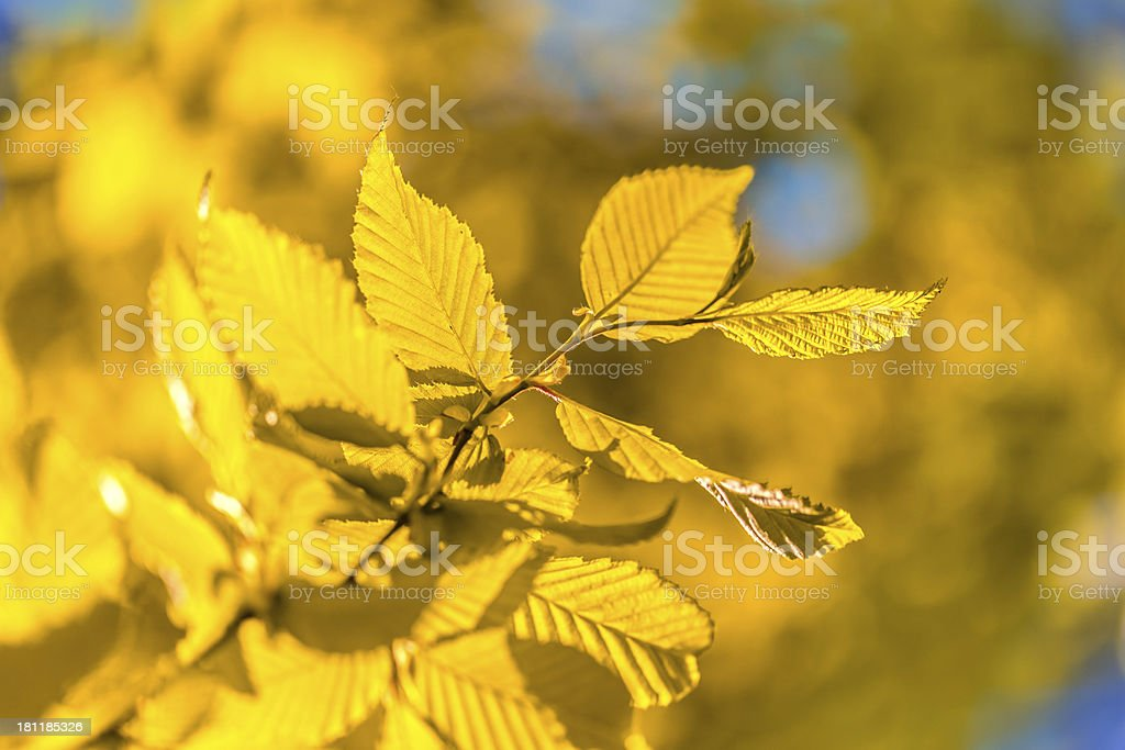 Bright colorful leaves on the branches used as background royalty-free stock photo