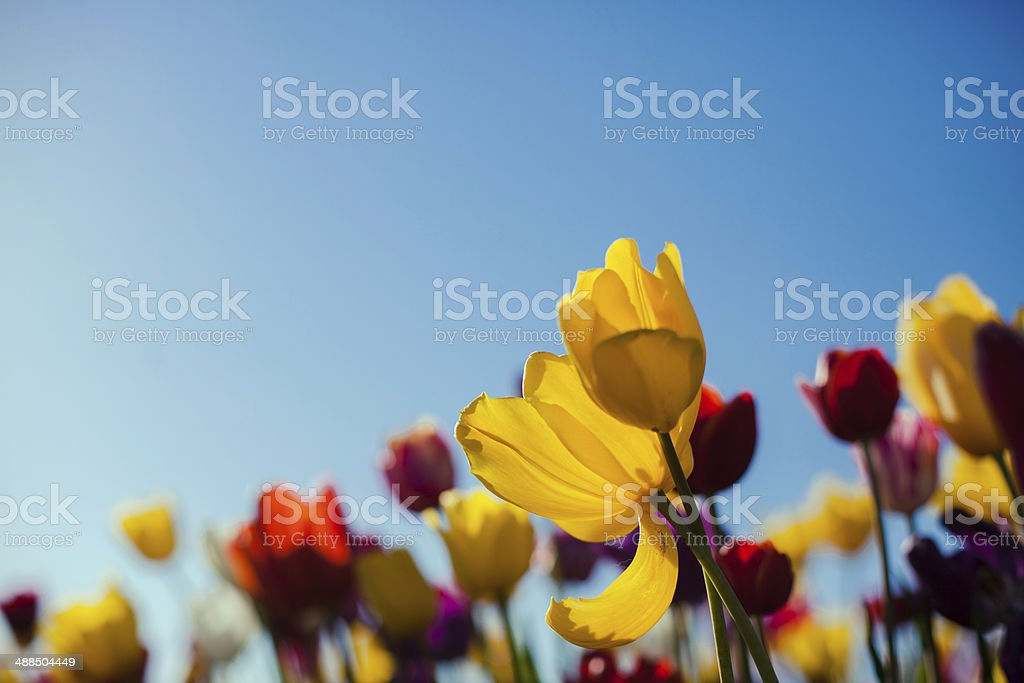 Bright Colorful Spring Tulip Flower Field Close Up stock photo