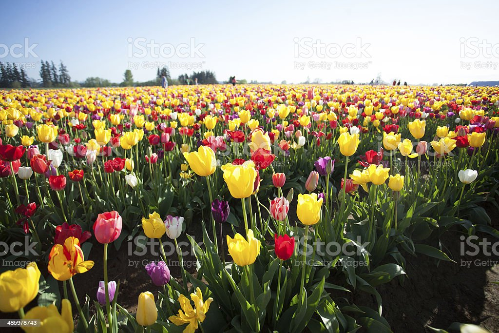 Bright Colorful Spring Tulip Flower Field stock photo