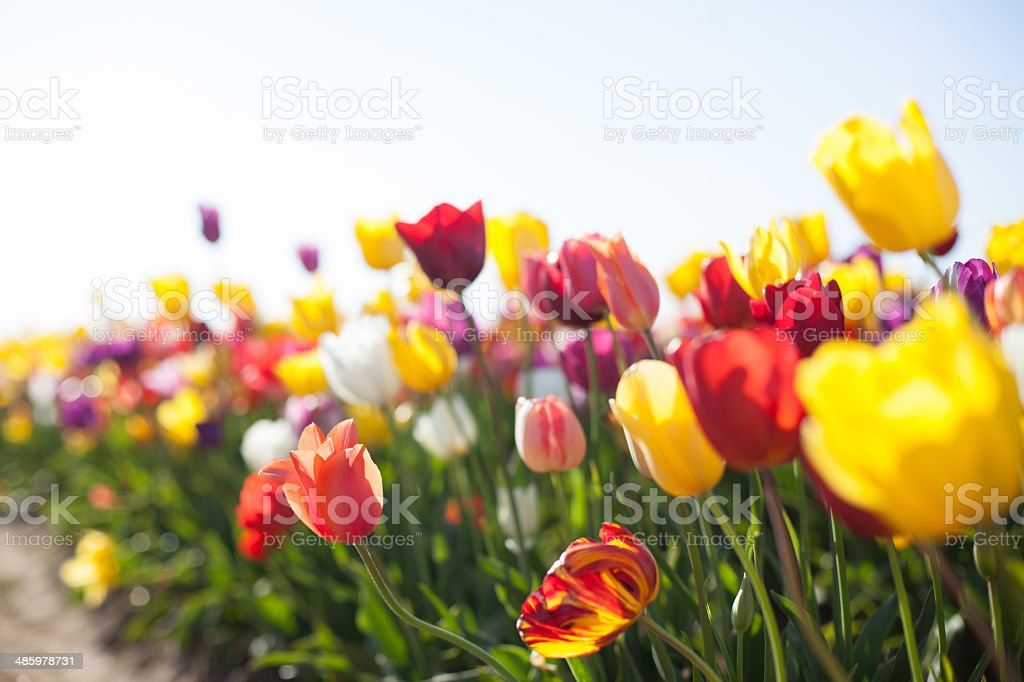 Bright Colorful Spring Tulip Flowers stock photo