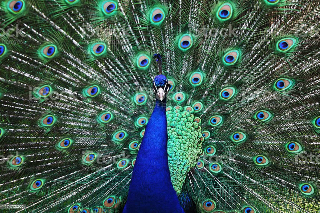 Bright colors of a blue peacock stock photo